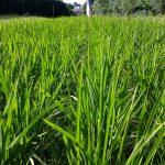 Notre riz breton