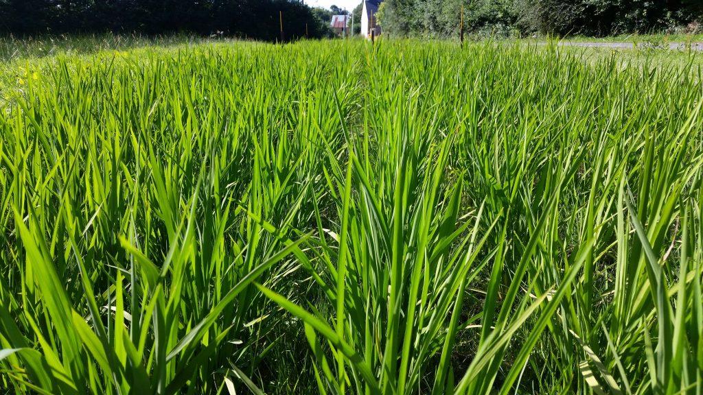 riz breton